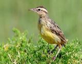 Meadowlark, Western (Juvenile)