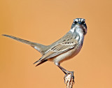 Sparrow, Sage