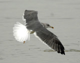 Gull, Black-backed #2