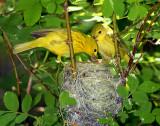 Warbler, Yellow (nest)