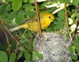 Warbler Yellow D-030.jpg