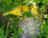 Warbler Yellow D-037.jpg