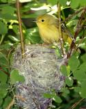 Warbler Yellow D-035.jpg