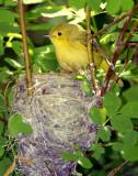 Warbler Yellow D-034.jpg