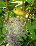 Warbler Yellow D-033.jpg