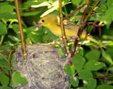 Warbler Yellow D-032.jpg