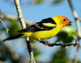 Tanager Western D-040.jpg