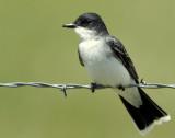 Kingbird EasternD-001.jpg