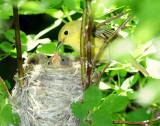 Warbler Yellow D-43.jpg