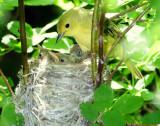 Warbler Yellow D-44.jpg
