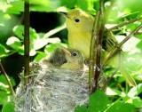 Warbler Yellow D-45.jpg