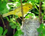Warbler Yellow D-47.jpg