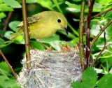 Warbler Yellow D-48.jpg