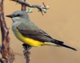 Kingbird Western  (normal)
