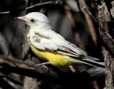 Kingbird Western  (leucistic)