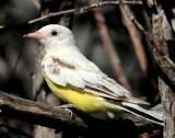 Kingbird, Western (leucistic)
