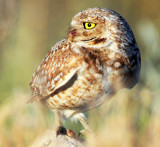 Owl Burrowing D-063.jpg