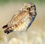 Owl Burrowing D-062.jpg