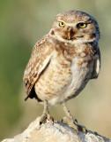 Owl Burrowing D-069.jpg