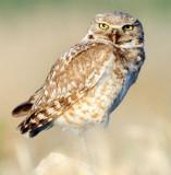 Owl Burrowing D-061.jpg