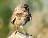 Owl Burrowing D-067.jpg
