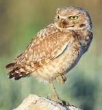 Owl Burrowing D-065.jpg