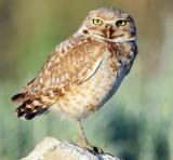Owl Burrowing D-066.jpg