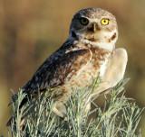 Owl Burrowing D-080.jpg