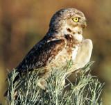 Owl Burrowing D-082.jpg