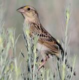 Sparrow, Grasshoipper