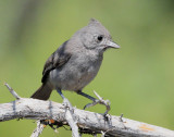 Titmouse Juniper D-002.jpg