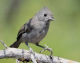 Titmouse Juniper D-003.jpg