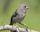 Titmouse Juniper D-004.jpg