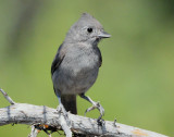 Titmouse Juniper D-005.jpg