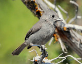 Titmouse Juniper D-006.jpg