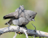 Titmouse Juniper D-012.jpg