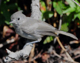 Titmouse Juniper D-022.jpg