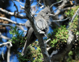 Titmouse Juniper D-024.jpg