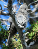 Titmouse Juniper D-025.jpg