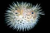 泡魚/河豚魚/ Swellfish / Blowfish