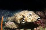 雞泡/河豚魚 / swellfish / lowfish / blowfish / globefish / puffer / balloonfish