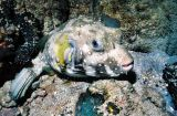 swellfish /  lowfish