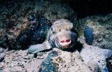 泡/河豚魚/ swellfish /  blowfish