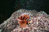 獅子魚/ RED FIREFISH / LIONFISH