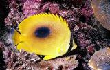 豆豉 蝴蝶魚 /Butterfly fishe