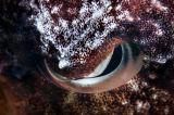 墨魚的眼睛 an eye (cuttlefish)