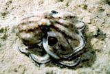 八爪魚/章魚/octopus