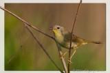 Common Yellowthroat Geothlypis Trichas