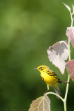 Prairie Warbler Dendroica discolor
