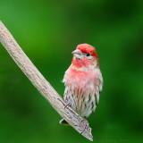 House Finch Carpodacus Mexicanus